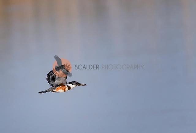 Female Belted Kingfisher in flight over water with wings aloft (SandraCalderbank, sandra calderbank)