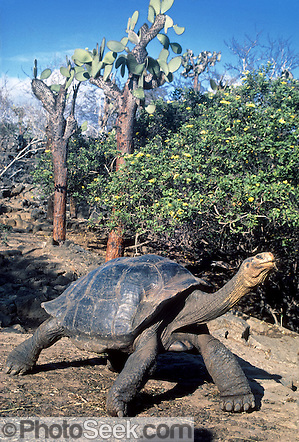 Giant Galapagos Tortoise under prickly pear cactus, Charles Darwin Research Station, Santa Cruz Island, Galapagos Islands, Ecuador