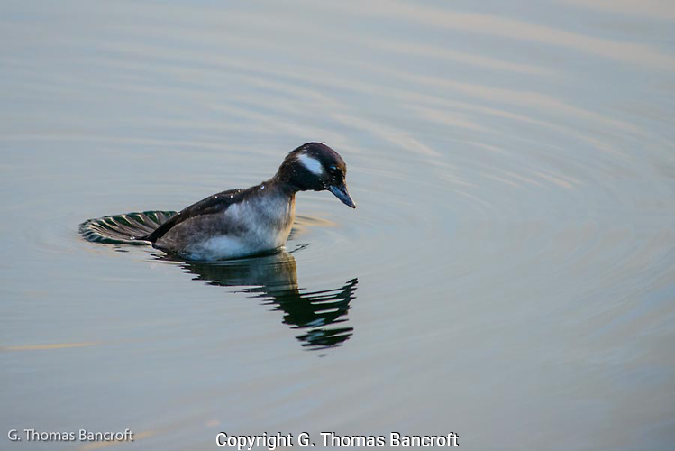 The Bufflehead sat on the surface for a few seconds after she poped up from her last dive.  I watched carefully as she prepared to dive and noticed that she spreads her tail as a large paddle and pusing hard down to propel her up and straight down on a dive. (G. Thomas Bancroft)