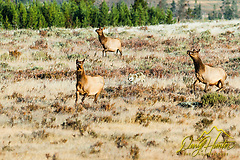 Wolf chasing elk, Yellowstone National Park