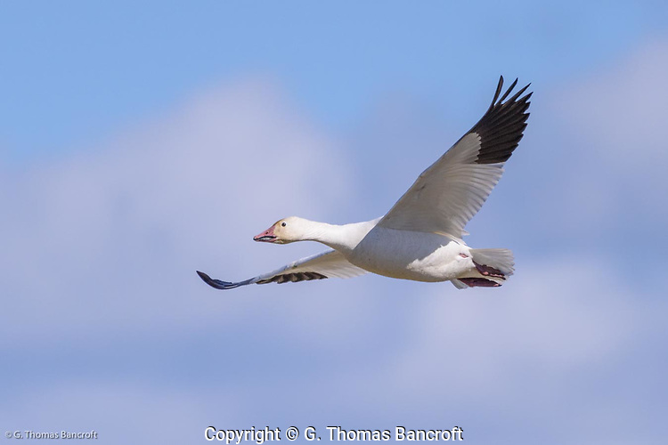 A single flying snow goose shows the black primaries and white secondaries of the wings and the aerodynamic nature of their body in flight. (G. Thomas Bancroft)