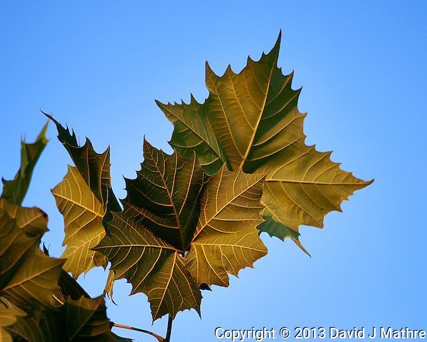Back Side of Sycamore Leaves in Early Morning Light. Image taken with a Nikon D800 and 600 mm f/4 VR lens (ISO 160, 600 mm, f/4, 1/500 sec). (David J Mathre)