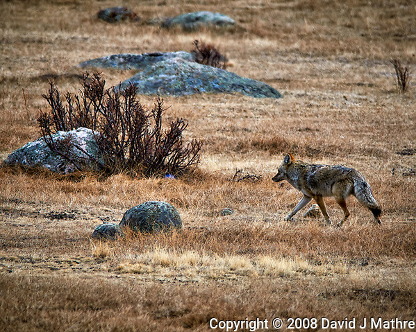 Coyote in Rocky Mountain National Park looking for lunch. Winter nature in Colorado. Image taken with a Nikon D300 camera and 300 mm f/2.8 VR lens with a TCE-20 teleconverter (ISO 200, 600 mm, f/5.6, 1/800 sec). (David J Mathre)