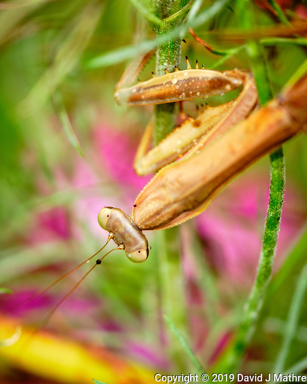 Praying Mantis laying eggs. Image taken with a Fuji X-H1 camera and 80 mm f/2.8 macro lens and 1.4x teleconverter (ISO 1250, 112 mm, f/8, 1/70 sec). (DAVID J MATHRE)