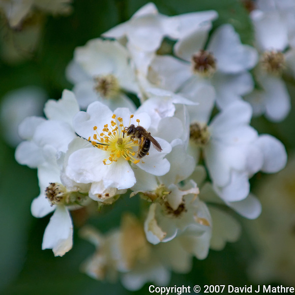 Wasp in Raspberry Flowers. Macro Images of Nature in New Jersey. Image taken with a Nikon D2xs and 70-200 mm f/2.8 VR and TC-E 14 teleconverter (ISO 280, 280 mm, f/4, 1/160 sec). Raw image processed with Capture One Pro 6, Focus Magic, NIK Define 2, and Photoshop CS5.. (David J Mathre)