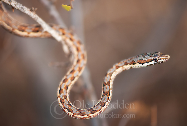 Tanganyika sand snake (Psammophis tanganicus) in Samburu, Kenya (Ole Jrgen Liodden)