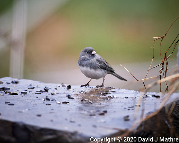 Dark-eyed Junco looking for food on a rainy morning. Image taken with a Nikon D5 camera and 600 mm f/4 VR lens (ISO 1600, 600 mm, f/4, 1/320 sec). (DAVID J MATHRE)
