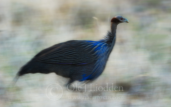 Vulturine Guineafowl (Acryllium vulturinum) in Samburu, Kenya (Ole Jrgen Liodden)