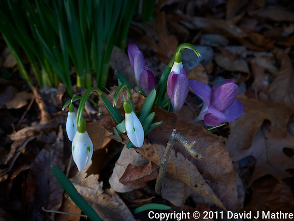 Snow Drops and Purple Crocuses in Bloom -- Spring is Coming. Image taken with a Leica D-Lux 5 (ISO 100, 7.5 mm, f/3.2, 1/100 sec). (David J Mathre)