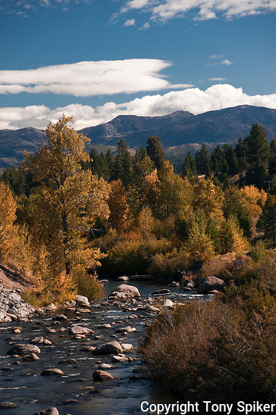 """Fall Along the Truckee River 3"" - A photograph of fall Aspen trees near their peak along the Truckee River. (Tony Spiker)"