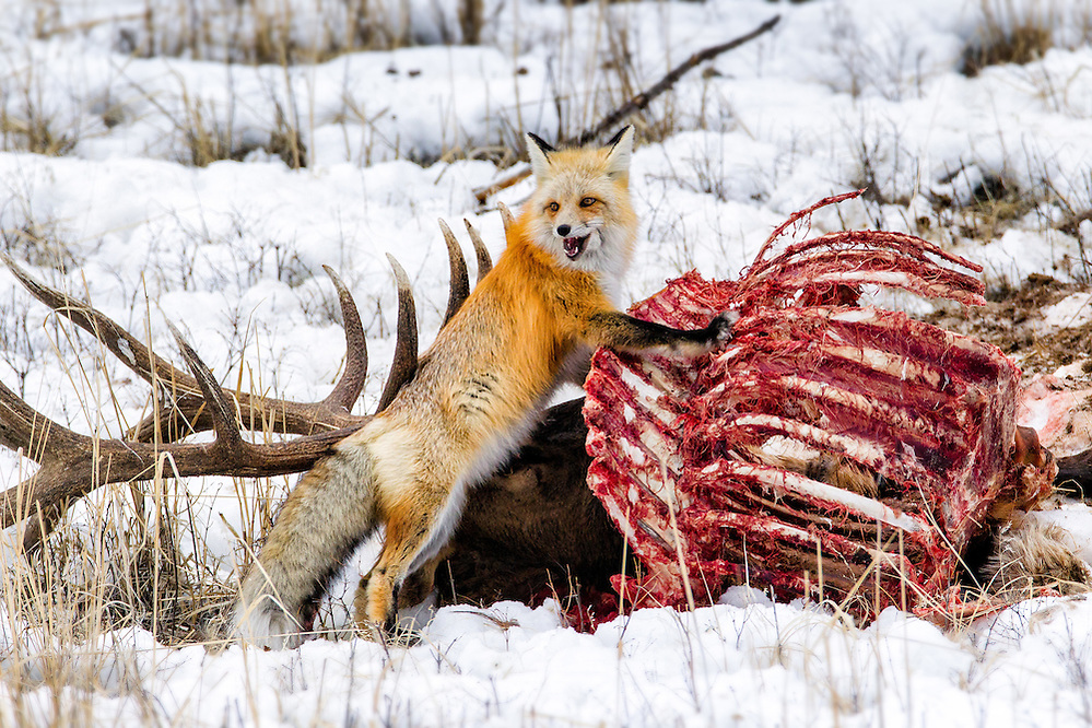 A Red Fox checking the status of a nearby (and sleeping) Coyote while it feeds on an Elk carcass in Yellowstone National Park (Doug Oglesby)