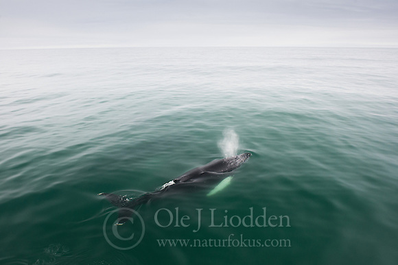 Humback Whale (Megaptera novaeangeliae) near Svalbard (Ole J Liodden)