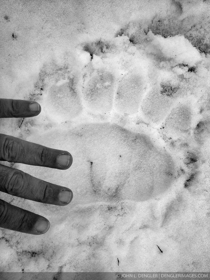 A grizzly bear track in snow near the Chilkat River in the Alaska Chilkat Bald Eagle Preserve near Haines, Alaska is compared with a human hand. SPECIAL NOTE: iPhone photo (John L. Dengler)