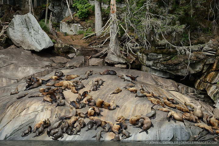 Among the concerns related to the proposed Juneau Access Improvements Project is the Steller sea lion haulout at Gran Point (pictured). The haulout at Gran Point is a designated Steller sea lion Critical Habitat Area. According to the Alaska Department of Transportation's 2014 Juneau Access Improvements Project: Draft Supplementary Environmental Impact Statement, more than one hundred Steller sea lions (Eumetopias jubatus) have been counted at the haulout during the spring and fall. As currently proposed the proposed highway would be built just uphill from the haulout area, approximately 100 to 600 feet horizontally and 50 to 100 feet vertically. Highway plans near the haulout includes blasting steep rock-cut embankments and several tunnels with one tunnel entrance only 550 feet away from the haulout. There is concern for haulout abandonment by the sea lions during highway construction as studies have shown Steller sea lions are very sensitive to noise, both in and out of water. Because Steller sea lions frequent Gran Point nearly year round, the use of explosives and helicopters will be challenging during construction. There are two distinct populations of Steller sea lions in Alaska. The majority of Stellar sea lions that frequent the Lynn Canal are part of the eastern population of Steller sea lions which are not listed as endangered under the Endangered Species Act; unlike the western population of Steller sea lions which are listed as endangered. That said however, there have been confirmed sightings of the western population Steller sea lions at Gran Point. The Juneau Access Improvements Project is a proposed $570-million highway project to extend Glacier Highway out of Juneau for closer road access to the southeast Alaska towns of Haines and Skagway. Juneau's roads do not connect with the continental road network. Travelers either have to fly between Juneau, Haines and Skagway, or travel on one of the ferries of the Alaska Marine Highway System. (John L. Dengler)