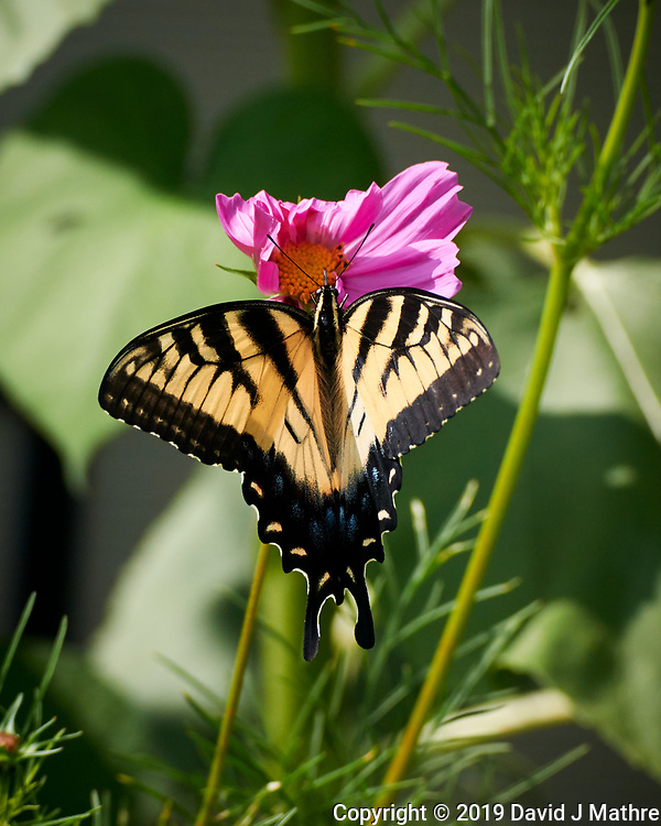 Tiger Swallowtail Butterfly on a Cosmos Flower. Image taken with a Nikon 1 V3 camera and 70-300 mm VR lens. (DAVID J MATHRE)