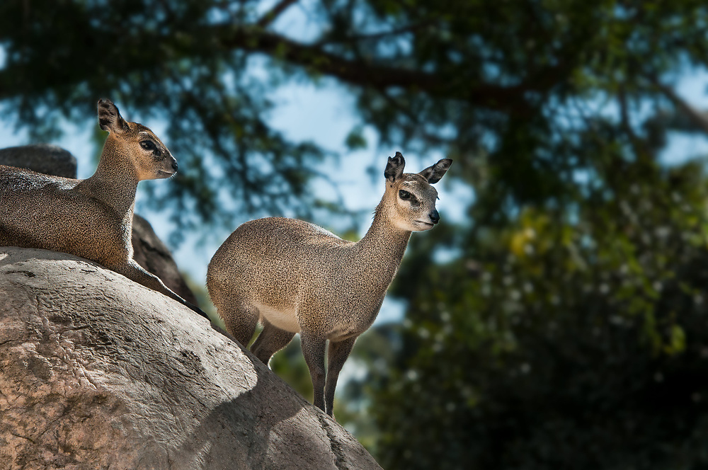 Klipspringers at the San Diego Zoo (a small African antelope) (Doug Oglesby)