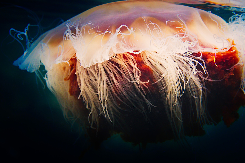 Fiskavaig, ISle of Skye Lions Mane jellyfish near the surface 2020 Image from the Below the Skye Line project. Photographer: Gill Williams Post Production: Geraint Ashton Jones https://www.belowtheskyeline.com (Below the Skye Line / © Gill Williams & © Geraint Ashton Jones)