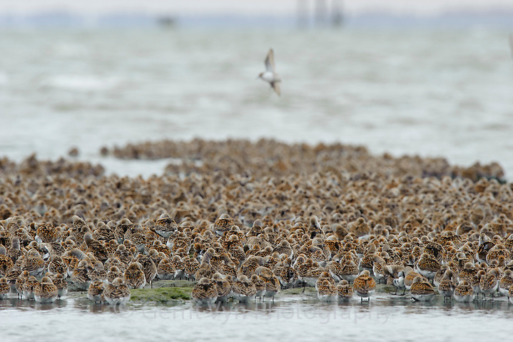 Western Sandpipers (Calidris mauri) and Dunlin (Calidris alpina) roosing during spring migration. Gray's Harbor County, Washington. April. (Gerrit Vyn)