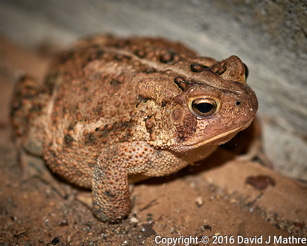 Toad trying to get into my garage. Fall Nature in New Jersey. Image taken with a Nikon D800 camera and 60 mm f/2.8 macro lens (ISO 800, 60 mm, f/5, 1/60 sec) + popup flash. (David J Mathre)