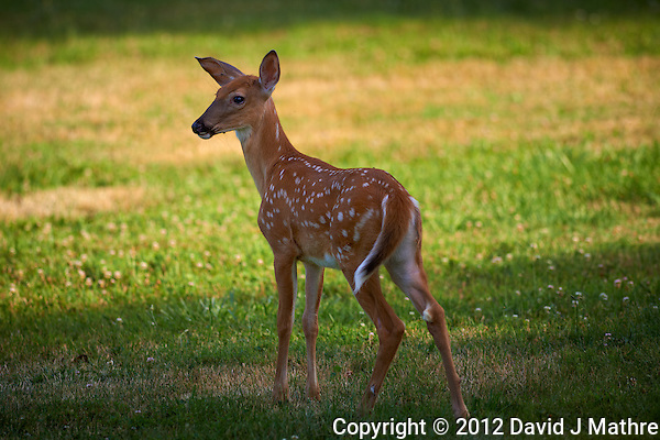 Fawn with Spots. Image taken with a Nikon D800 and 300 mm f/2.8 VR lens (ISO 100, 300 mm, f/2.8, 1/500 sec). (David J Mathre)