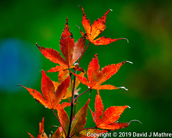 Backlit Autumn Japanese Maple Leaves. Image taken with a Fuji X-H1 camera and 200 mm f/2 lens + 1.4x teleconverter (ISO 200, 280 mm, f/2.8, 1/450 sec). (DAVID J MATHRE)