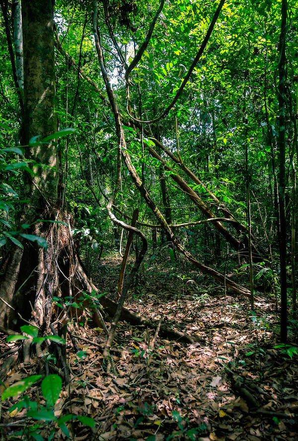 LORETO, PERU - CIRCA OCTOBER 2015: Peruvian forest in the Amazon (Daniel Korzeniewski)