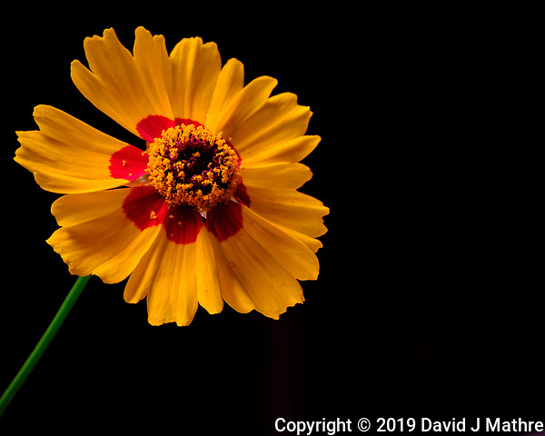 Plains Coreopsis Flower. Image taken with a Fuji X-T3 camera and 80 mm f/2.8 OIS macro lens (ISO 160, 80 mm, f/16, 1/4 sec). (DAVID J MATHRE)