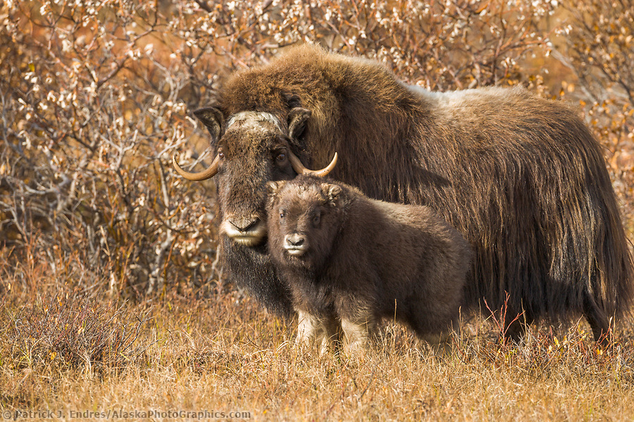 Muskox Cow and calf of the year on the tundra, Seward Peninsula, arctic Alaska. (Patrick J Endres / AlaskaPhotoGraphics.com)