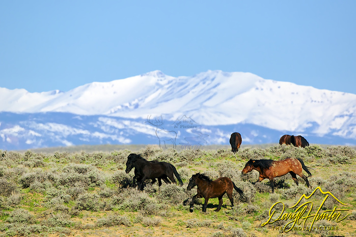"Running mustangs, McCullough Peaks, Cody Wyoming, the Absaroka Mountains tower in the background (© Daryl Hunter's ""The Hole Picture""/Daryl L. Hunter)"