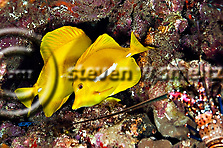 Yellow Tang, Zebrasoma flavescens, Lanai Hawaii, Knob Hill (Steven Smeltzer)