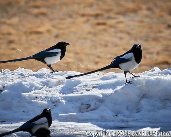 Black-billed Magpie at Rocky Mountain National Park. Image taken with a Nikon D300 camera and 300 mm f/2.8 lens (ISO 200, 300 mm, f/8, 1/500 sec). (David J Mathre)
