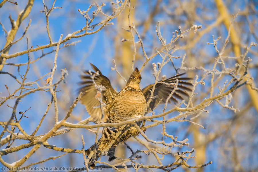 Alaska bird photos: Ruffed grouse feeds in quaking aspen tree in winter, Fairbanks, Alaska (Patrick J. Endres / AlaskaPhotoGraphics.com)
