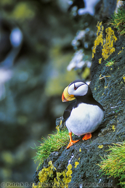 Horned Puffin gathers grass for nesting on the cliffs of the Pribilof Islands, Alaska (Patrick J. Endres / AlaskaPhotoGraphics.com)
