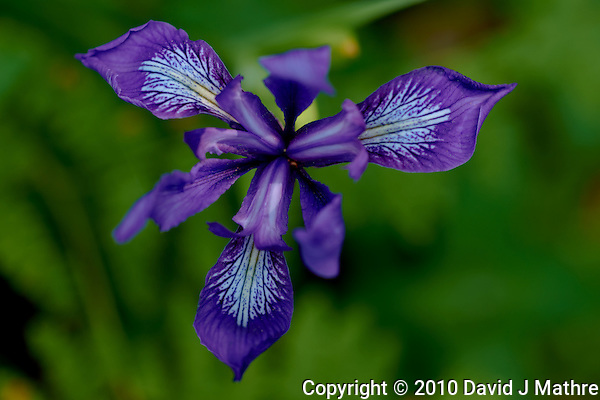 California Wild Blue Iris Bloom (David J Mathre)
