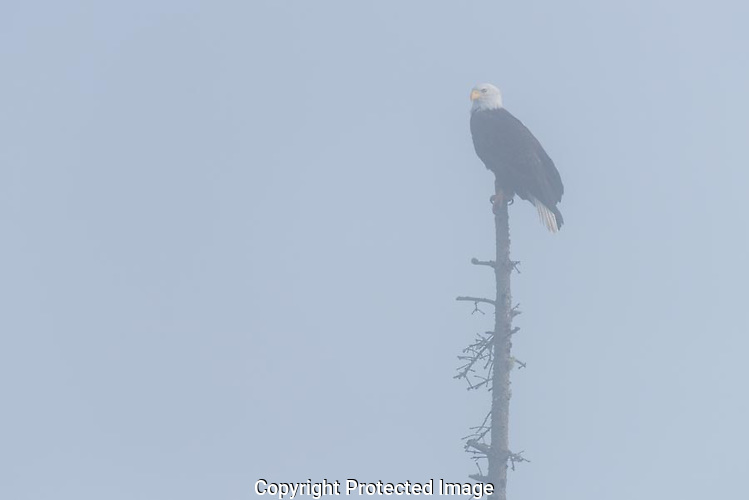A bald eagle sits on top of a dead snag in dense fog on Whidbey Island in Washington. (Thomas Bancroft)