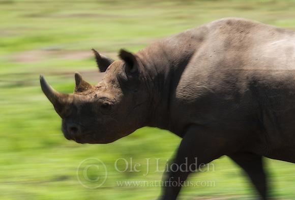 Black Rhino (Diceros Bicornis) in Masai Mara, Kenya (Ole Jørgen Liodden)