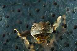 Das bis zu 18 cm gro�e Kammmolch-Männchen (Triturus cristatus) verlässt sattgefressen den Froschlaich-Ballen. (Solvin Zankl)