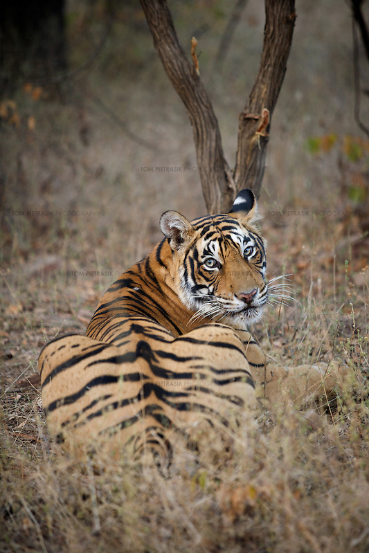 A 2.5 year old female tiger known as T19 at Rantambore National Park, Rajasthan. T19 was one of the four candidates for relocation to Sariska National Park. The relocation was eventually aborted because none of the candidates could be located. ..Sariska National Park in Rajasthan was once home to dozens of tigers but by 2005 poaching had resulted in their complete eradication. Recognising the urgent need for intervention, the Indian and Rajasthan-state governments began the reintroduction of tigers into Sariska. Two cats were airlifted 200 km from Ranthambore National Park in June 2008. On November 5th an attempt to relocate a third tiger was postponed until later in the month. This relocation strategy is certainly an important part of the tiger conservation effort but many, including those like Dharmendra Khandal of the NGO Tiger Watch, argue that it will never be entirely successful without properly confronting the three essential issues that threaten tiger populations: poaching, habitat loss and the hunting of prey-base animals. In turn, these three issues cannot be addressed without acknowledging the malign influence of caste, poverty and poor administrative accountability. Poaching is almost exclusively undertaken by extremely poor and marginalised groups, including the Mogia caste who, without education, land and access to credit have limited alternative means of income. Many in the Mogia community also hunt bush meat for both their own consumption and to sell to others. This results in a depletion of the prey-base upon which tigers feed. Encroachment and grazing by those including the Gujar people who raise dairy herds, have led to habitat loss in Sariska and other parks. To properly tackle the problem of hunting and encroachment, the government must provide alternative livelihoods for marginalised groups and relocate them to viable land before - rather than after - the re-introduction of tigers. Compounding all these issues is the ridged hierarchy of India's (Tom Pietrasik)