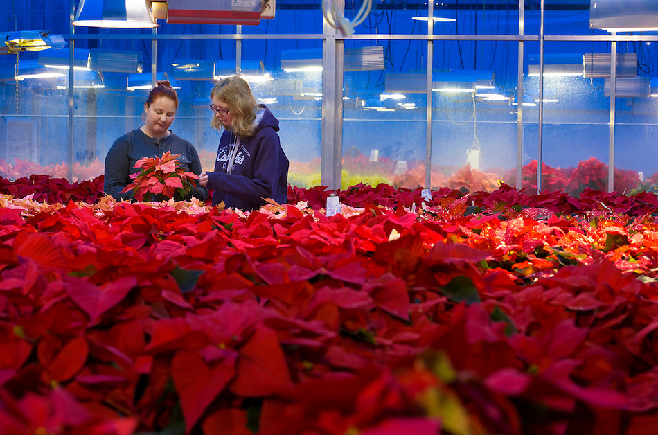 Iowa State horticulture club members Lexie Boyens, left, and Merisa Lengeling tend to over 400 poinsettia plants inside the Horticulture Hall greenhouse on Tuesday. More than 600 of the traditional holiday plants are on sale across campus this week. (Photo by Christopher Gannon/Iowa State University) (Christopher Gannon)