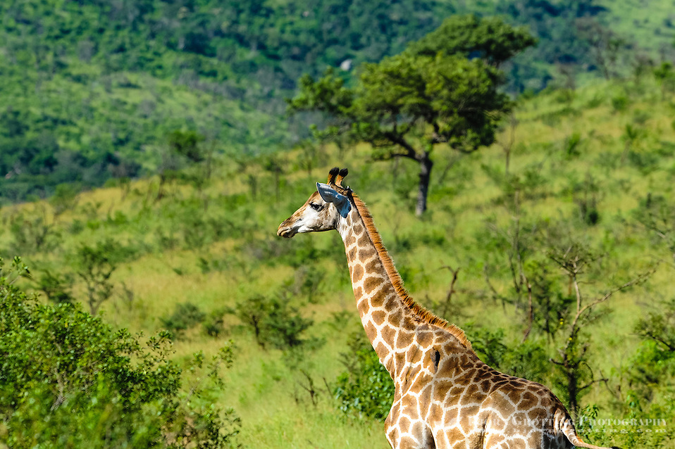 Giraffe. Hluhluwe-Umfolozi Game Reserve, South Africa. (Photo Bjorn Grotting)
