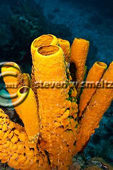 Yellow Tube Sponge, Aplysina fistularia, Grand Cayman (Steven Smeltzer)