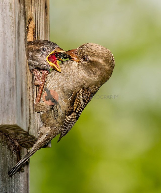 Female House Sparrow feeding young a bee (Sandra Calderbank, sandra calderbank)