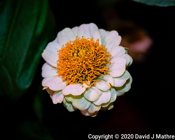 White Zinnia Flower. Image taken with a Fuji X-T3 camera and 80 mm f/2.8 OIS macro lens (ISO 160, 80 mm, f/8, 1/60 sec) (DAVID J MATHRE)