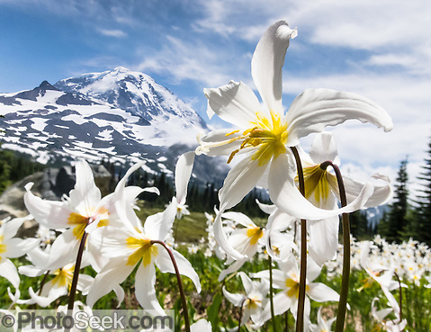 Fields of White Avalanche Lilies bloom in late July along the trail in Spray Park, in Mount Rainier National Park, Washington, USA. Two overlapping photos were stitched into a composite having greater depth of field. (© Tom Dempsey / PhotoSeek.com)