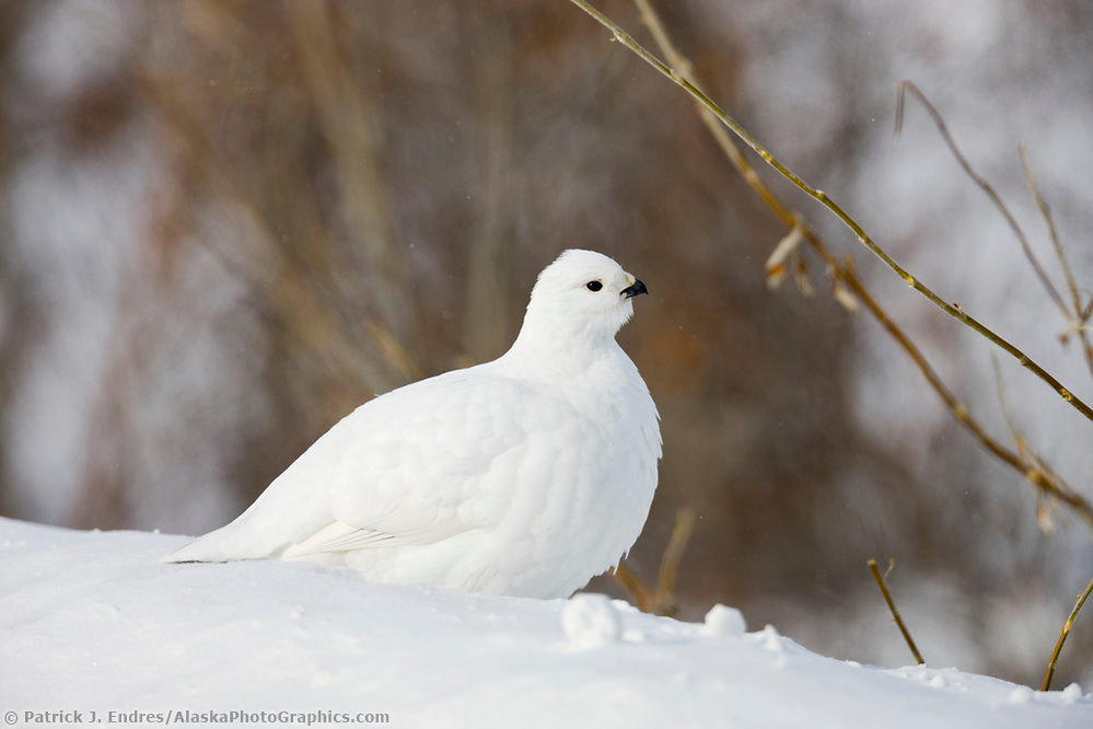 Willow ptarmigan in winter phase, Brooks Range, Arctic, Alaska. (Patrick J. Endres / AlaskaPhotoGraphics.com)