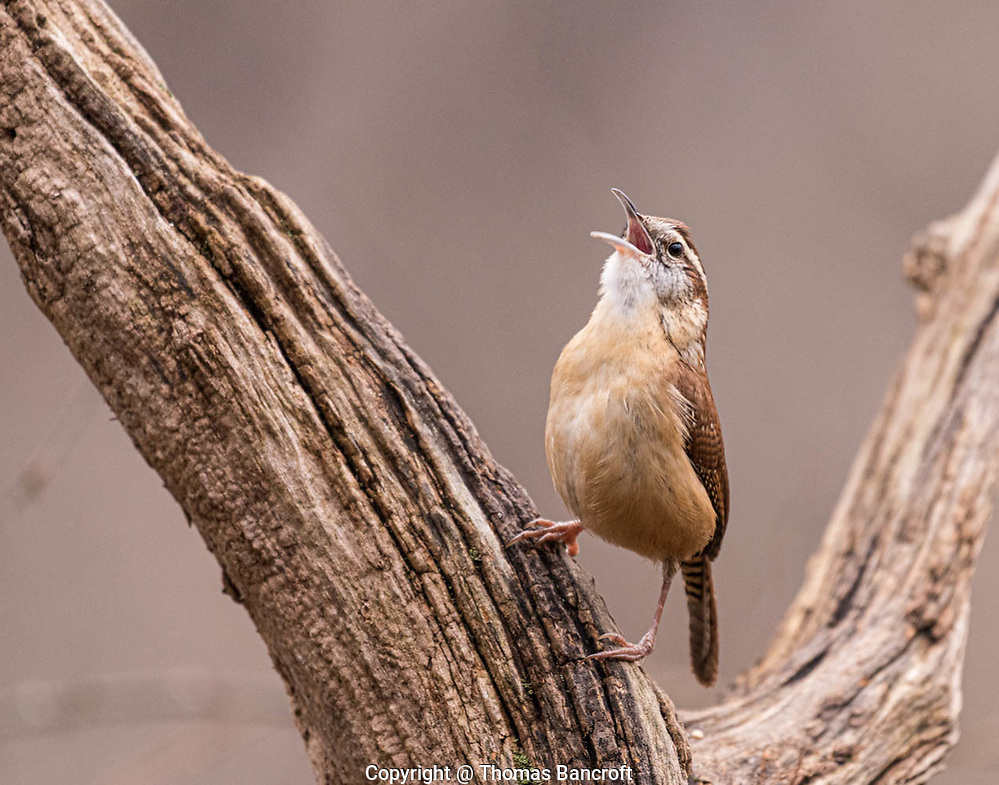 A Carolina Wren sings its te-kettle tea-kettle song to let everyone know it is here. (G. Thomas Bancroft)