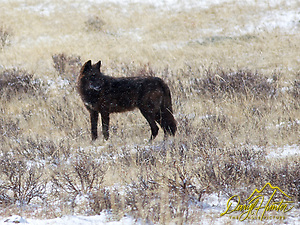 "Black Yellowstone Wolf, Lamar Valley, Yellowstone National Park (Daryl Hunter's ""The Hole Picture"" � Daryl L. Hunter has been photographing the Yellowstone Region since 1987, when he packed up his view camera, Pentex 6X7, and his 35mm�s and headed to Jackson Hole Wyoming. Besides selling photography Daryl also publ/Daryl L. Hunte,)"