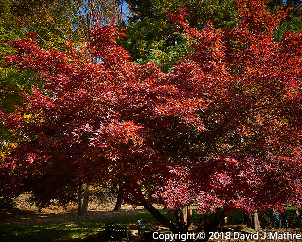 Japanese Maple. Image taken with a Leica CL camera and 18 mm f/2.8 lens (David J Mathre)