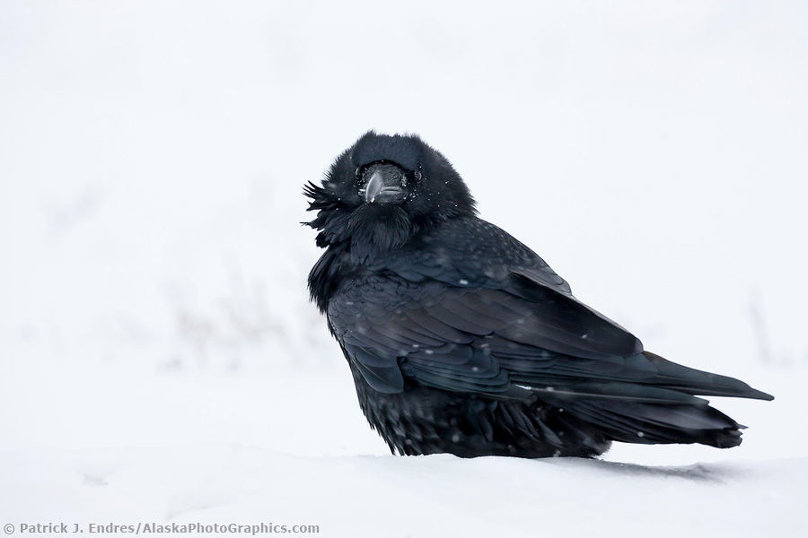 Alaska bird photos: Common raven on the snowy tundra in arctic, Alaska. (Patrick J. Endres / AlaskaPhotoGraphics.com)
