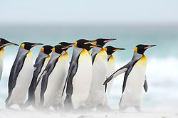 Beim Start zum Beutezug sowie bei ihrer Rückkehr vom Meer zur Brutkolonie sieht man, dass sich die Königspinguine (Aptenodytes patagonicus) in Gruppen zusammenfinden. Auf diese Weise werden sicherlich die Chancen erhöht, unbeschadet an ihren im Wasser lauernden Feinden wie Seelöwen und Schwertwalen vorbeizukommen. | Starting to and returning from their foraging trips the king penguins (Aptenodytes patagonicus) often gather in groups. This habit potentially lowers the risk of being caught by their aquatic predators, e.g. the sea lion and the orca. (Solvin Zankl)